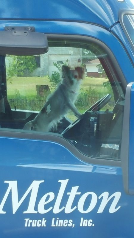 funny trucking pictures little dog behind the wheel of a blue Melton Truck Lines semi truck