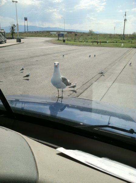 seagull sitting on the hood of a truck