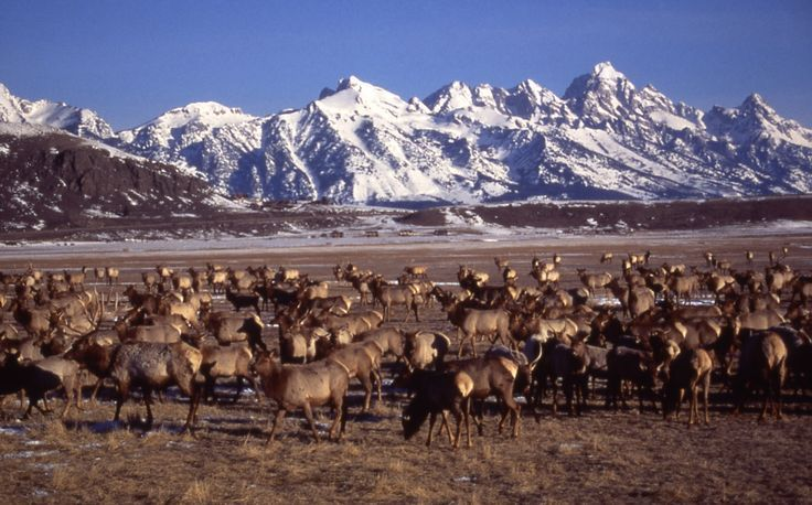 a herd of elk standing in front of snow-covered mountains in Wyoming