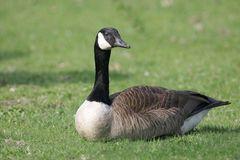 canada-goose-resting-lawn-10679367.jpg