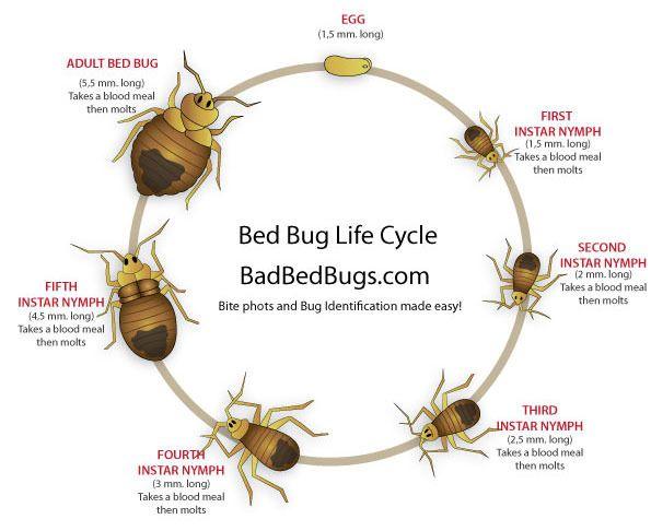 bed-bug-life-cycle.jpg