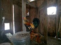 This is my rooster 'Mr Roostey'. He looks exactly like 'Old School's' rooster!