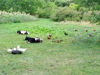 Two steers enjoying a nap, 5 white turkeys having a drink, and 10 chickens lookin for bugs.