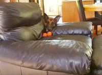 When Oden wants to play ball he puts them on the chair, lays his head down, and makes a sad puppy dog face! LoL!