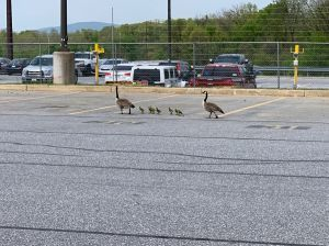 Hagerstown Geese