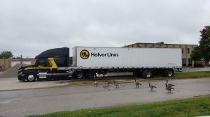 Geese and Big Rig