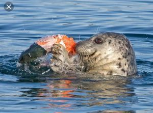 Lobster thief caught in the act!