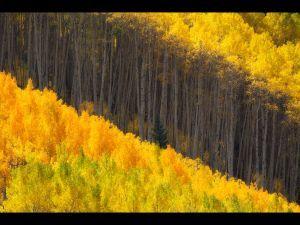 Fall colors, Colorado Rockies - Aspen trees